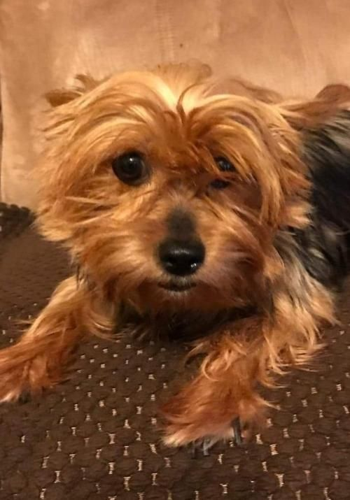 Adopt Summer On Pets Yorkshire Terrier Pet Adoption