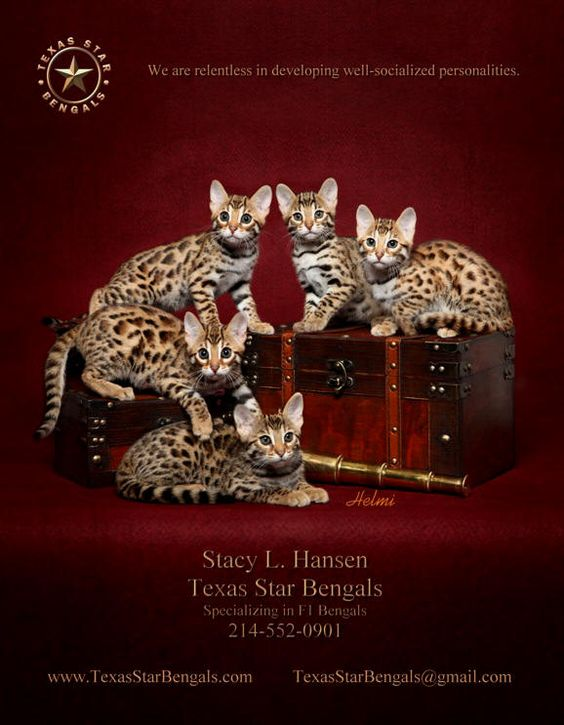 bengal cats bengal kittens bengal cat breeders bengal kitten breeders bengal cat Texas TX Bengal Cats Bengal Kittens Texas Star Bengals TICA REGISTERED BENGAL CATS KITTENS FOR SALE IN DALLAS FORT WORTH TEXAS reputable Texas Bengal Breeder DFW Metroplex Be