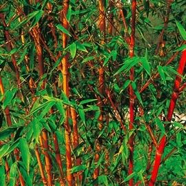 Bambou moyen : Phyllostachys aurea 'Holochrysa'