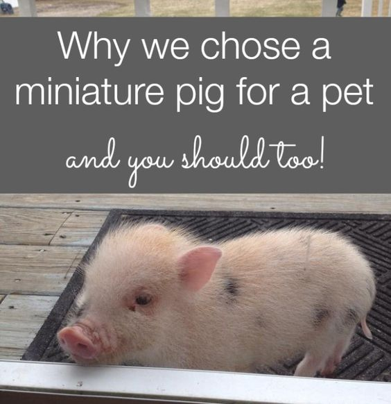 Why we chose a miniature pig for a pet and are so happy with the decision.