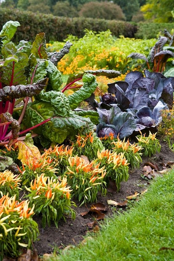 Edible Landscape - Bright Lights chard, purple cabbage and five color peppers in an autumn potager garden.: