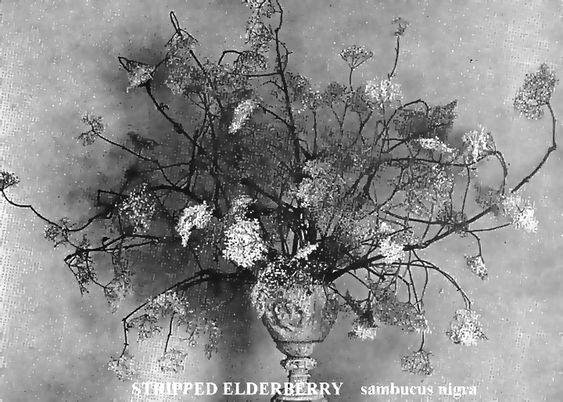 Stripped Elderberry