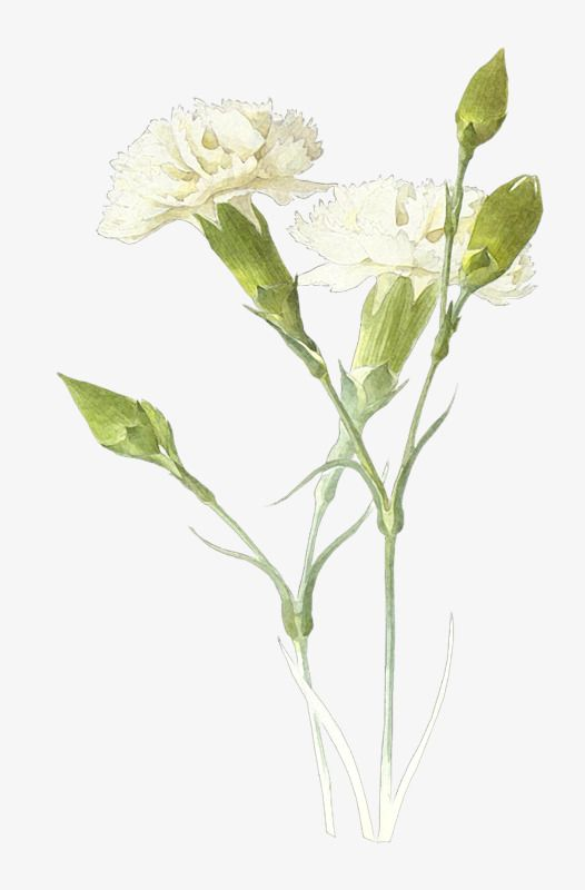 White Carnations In 2020 Watercolor Flowers Flower Bouquet