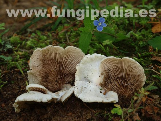 Crepidotus autochthonus es un hongo del orden Cortinariales también conocido como Crepidotus caspari var. autochthonus, .. ver más información.
