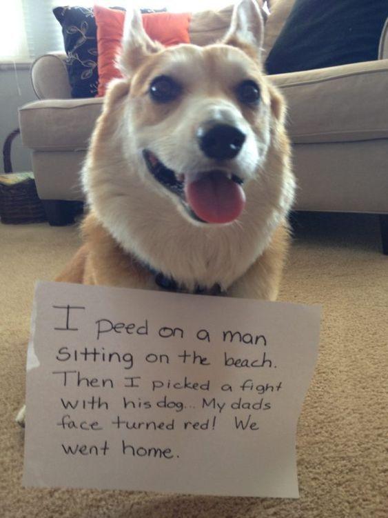 Corgi Dog Shaming Corgi Shaming Corgi Shaming Signs Corgi Shaming