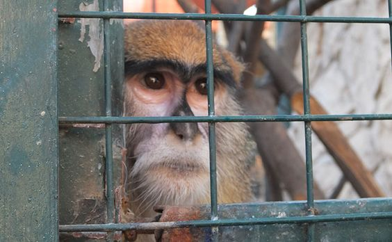 """Pointless animal research is specifically exempt from the anti-cruelty legislation. It is actually a defence to any animal cruelty charge that the conduct was carried out """"in the course of, and for the purpose of animal research"""""""