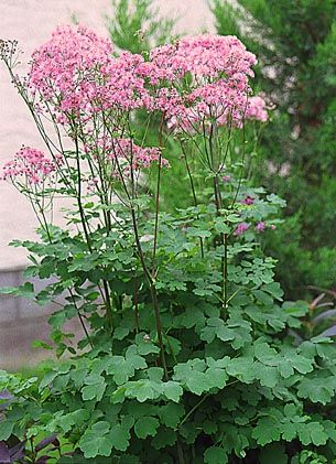 Meadow Rue - Thalictrum. Works well in shade as well as sun. The fine, airy foliage and flowers work well in a woodland garden setting.