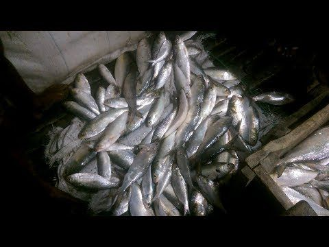 Selling Fish Lots Of Live Hilsa Fish Selling On Street Market Youtube Fish Nature L Marketing