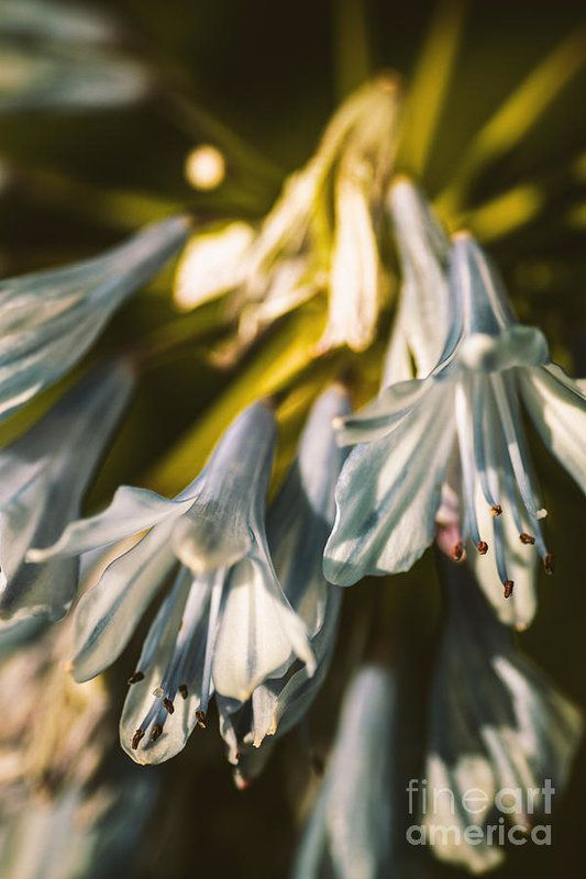 Vintage Agapanthus Flower Art Print By Jorgo Photography Wall Art Gallery