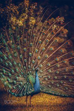 Royal Peacock / Paon by adil youri~~
