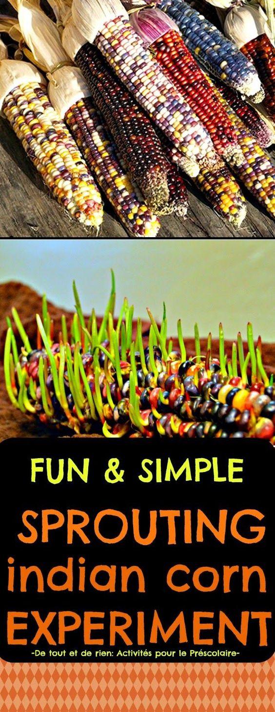 De tout et de rien: Activités pour le Préscolaire: Science experiment: Sprouting indian corn for Halloween or Thanksgiving - Faire germer des épis de maïs décoratifs