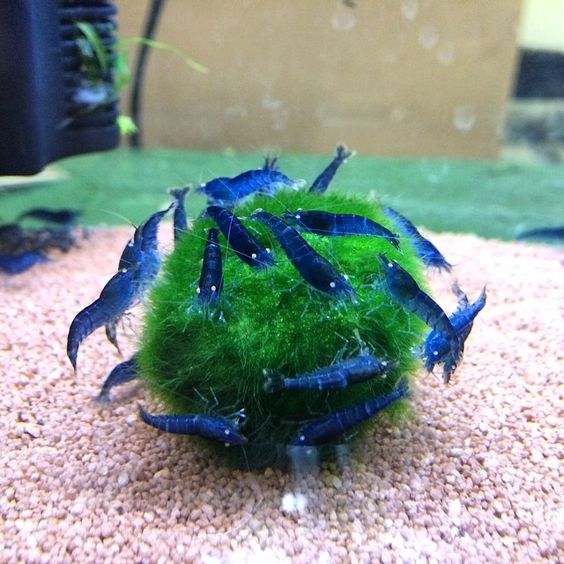 "aquariumscience: "" Bunch of blue tiger shrimp on a marimo moss ball. Love the white eyes. I would love to have a tank of just these guys. Maybe a 5 gallon. Aquarium Science..."