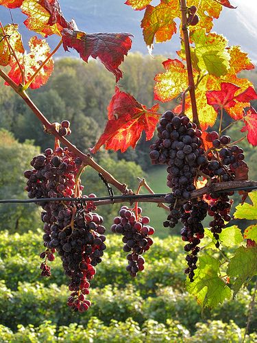 The Grapes Switzerland And Vineyard On Pinterest