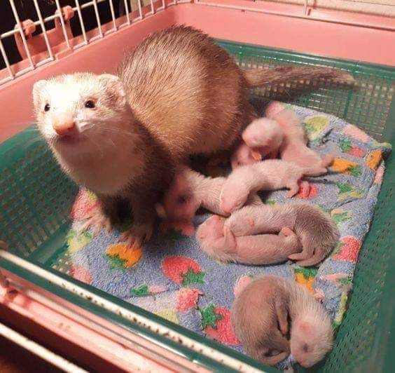 Fluffy Jelly Beans Music Indieartist Chicago Baby Ferrets