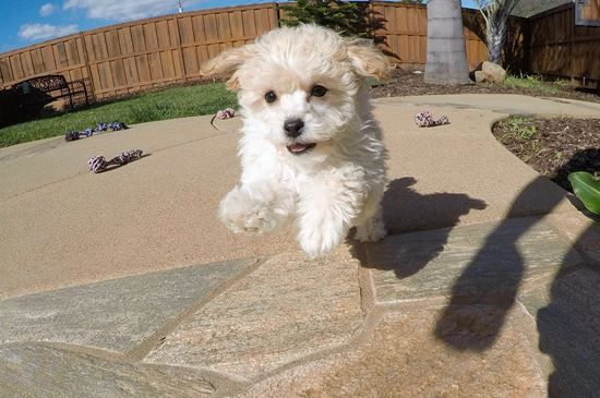 Teacup Yorkie Havanese Cavalier Teddy Bear Maltipoo Puppies For Sale In Califo Maltipoo Puppy King Charles Cavalier Spaniel Puppy Maltipoo Puppies For Sale