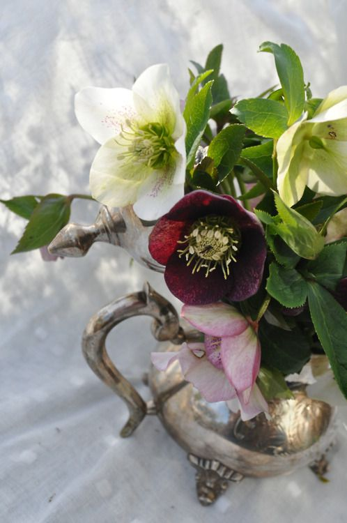 Hellebores, or Christmas Rose. It is so beautiful and I have always wanted to try growing this evergreen.:
