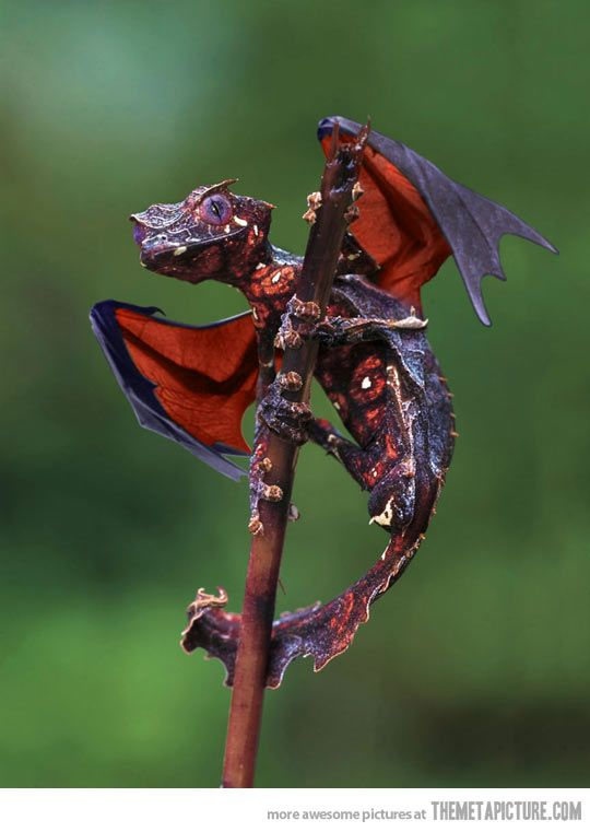 From Madagascar, the satanic leaf tailed gecko with flying fox wings - it looks like a baby dragon!