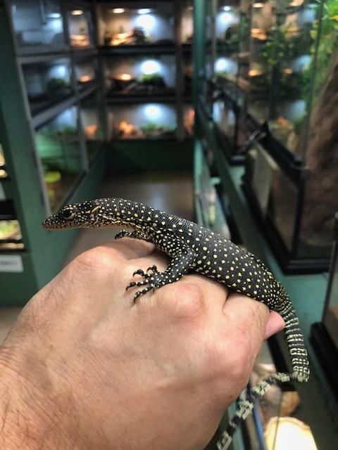 Gorgeous Little Baby Mangrove Monitors Now Available At Reptile Rapture Varanus Indicus Baby Reptile Pet Lizards Reptiles