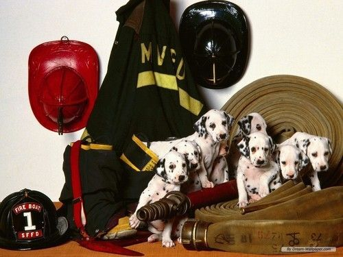 Firedogs Https Www Facebook Com First Responders Are Life 1456865557758170 Dalmatian Puppy Dalmatian Puppies For Sale Dog Lovers