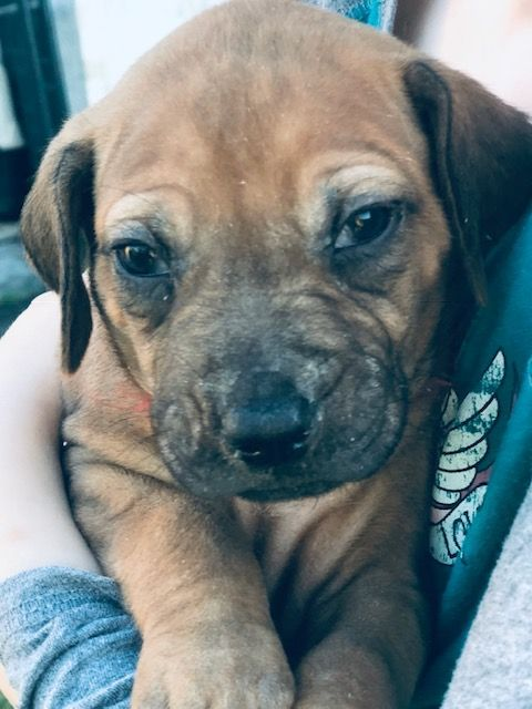 Meet Red Akc Rhodesian Ridgeback Puppy For Sale In Conway