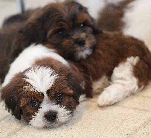 Baby Barks Calgary Bichon Shih Tzu Puppies In 2020 Shih Tzu Puppy Shichon Puppies Puppies