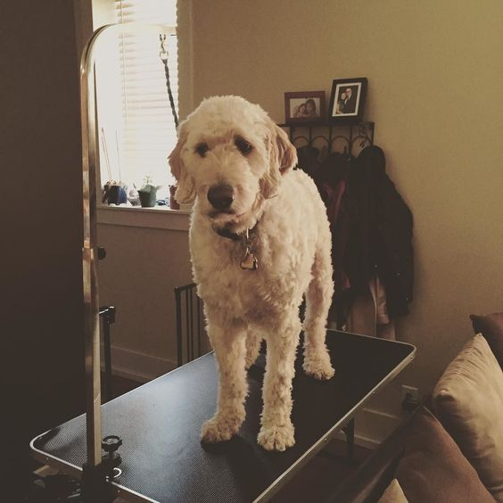 Can't you tell how excited I am that my grooming table came today?  #mydadsagroomer #goldendoodlesofinstagram #goldendoodlesofinsta #bestwoof #ruffpost #clubdoodle #topdogphoto #lacyandpaws #dogsofinstagram #excellent_dogs #buzzfeedanimals #myoklahoma by alan_goldendoodle