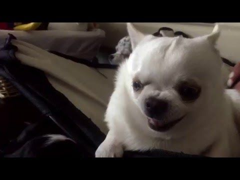 Grumpy Chihuahua Bothered By A Puppy Youtube Puppy Care
