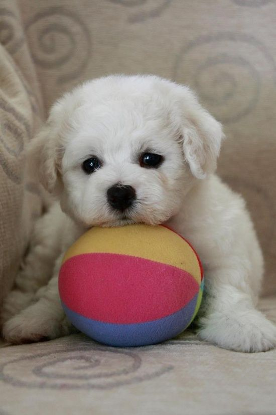 The Bichon is asking, won't you please play with me???