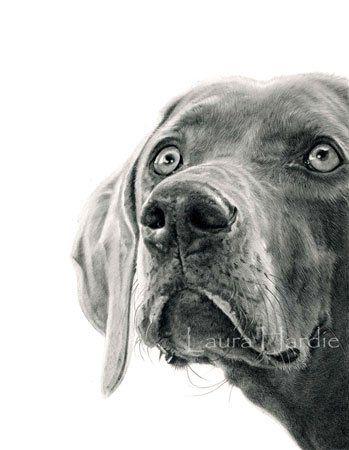 Weimaraner graphite drawing - by Laura Hardie