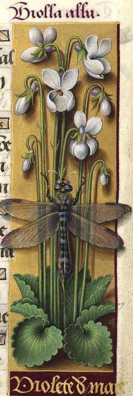 Violete de marz - Violla alba (Viola odorata L. = violettes à fleurs blanches) -- Grandes Heures d'Anne de Bretagne, BNF, Ms Latin 9474, 1503-1508, f°115r: