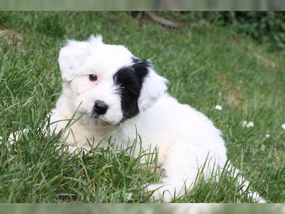 Unsere süßen Tibet Terrier Welpen suchen eine neue Familie