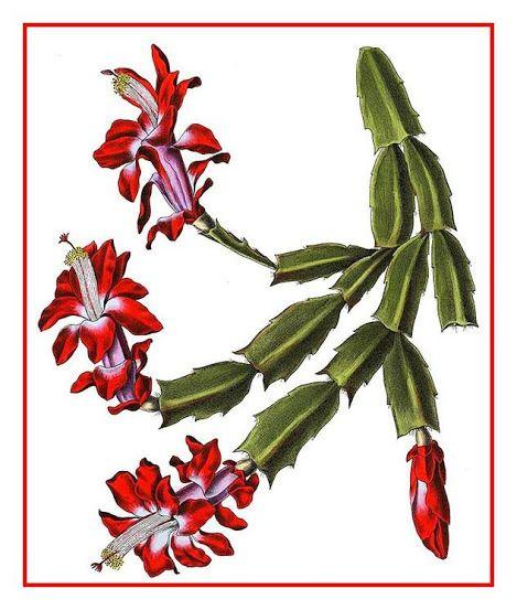 Flor-de-maio, Cacto-da-páscoa, Cacto-de-natal, Flor-de-seda – Schlumbergera truncata   Origem: América do Sul, Brasil   http://sergiozeiger.tumblr.com/post/115293724788/flor-de-maio-cacto-da-pascoa-cacto-de-natal  Um dos cactos mais apreciados e difundidos, a flor-de-maio, floresce em pleno outono, o que lhe confere o nome de flor-de-natal no hemisfério norte.   Por este motivo é bastante comercializado nestas época para presente. Seu caule é formado de várias partes (artículos) que podem…