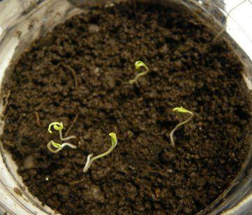 Siembra y seguimiento de tomates pimientos lechuga y for Plantar pimientos y tomates