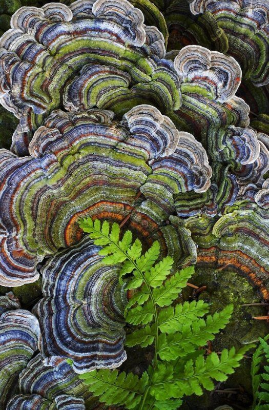 Trametes versicolor - a common polypore mushroom found throughout the world.  Commonly called turkey tail because its shape and multiple colors are similar to those of a wild turkey.