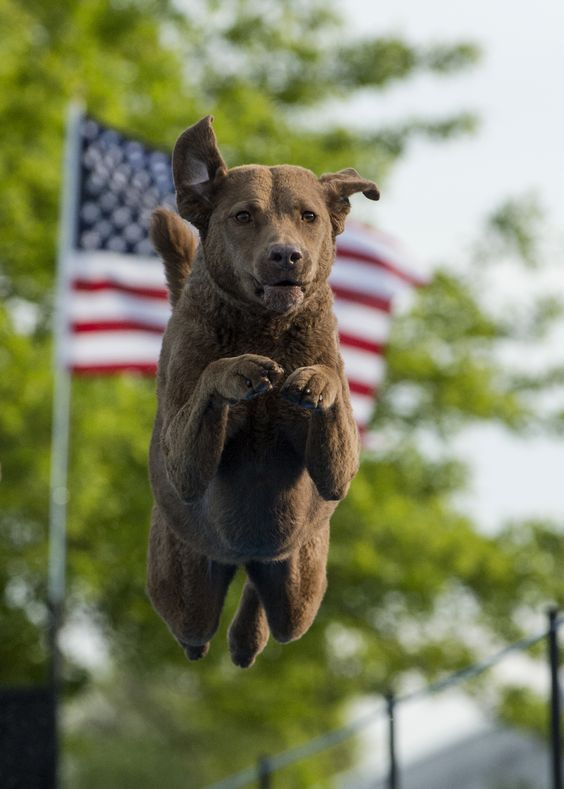 Fly, freedom, fly... Happy Fourth of July! #patriotic #dog #flag: