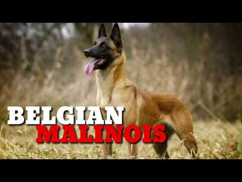 Belgian Malinois Litter Ready 2months Plus Belgians With Kci