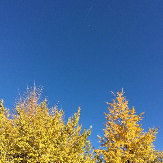 「. . 銀杏黄葉 Yellow Trees . . . #銀杏 #いちょう #街路樹 #은행나무 #가로수  #Ginkgo #ginkgotree #Ginkyo #Ginkjo #生きた化石 #화석 #黄葉 #天然色 #coloredleaves #yellowleaves #yellowtrees…」