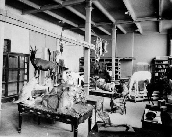 El taxidermista de Roosevelt en plena faena. La foto  pertenece a la colección del Smithsonian (http://goo.gl/g4CT)  Fuente: La brújula verde (http://goo.gl/i6Ir)