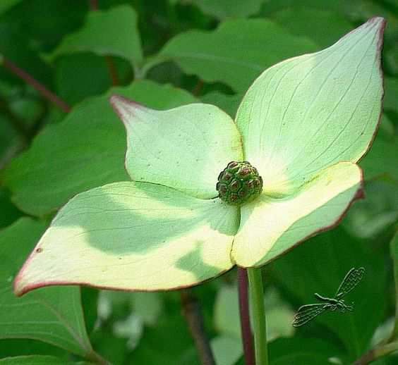 Scheinblüte Kornus