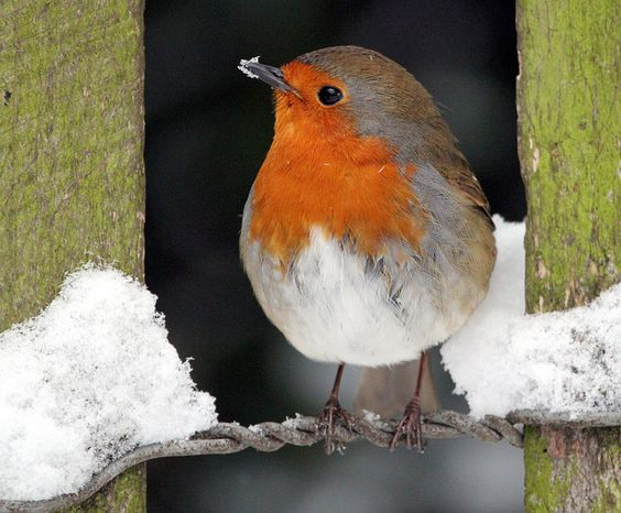 Robin, St Stephen's Church Fence   Flickr - Photo Sharing!