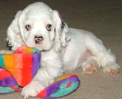White Cocker Spaniel Puppy