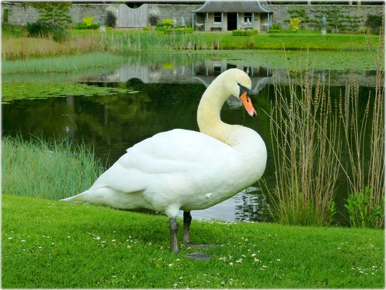 Mute Swan at the Hercules Garden, Blair Castle. by Tom MacDonald, May 2014.