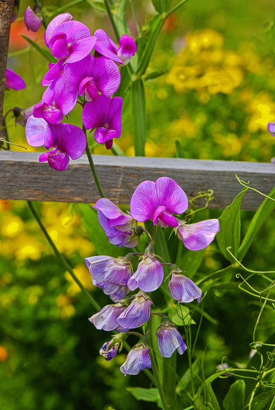 ~~Lathyrus, Sweet Peas   In the gardens of Villeret, on the way to the natural reserve of the Combe Grède (jurassic parc of the Chasseral), Switzerland   by Izakigur~~