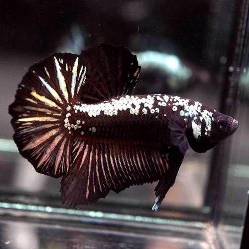 Live Betta Fish Big One Black Copper Samurai Halfmoon Plakat Hmpk Male 108 Betta Betta Fish Fish
