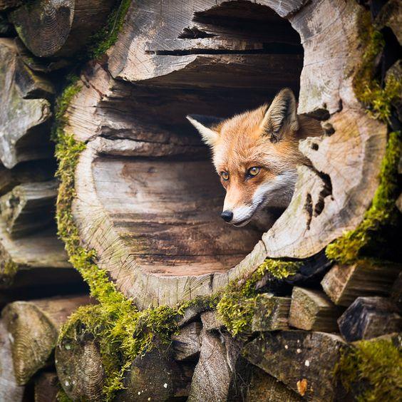 Red Fox by l i g h t p o e t, via Flickr