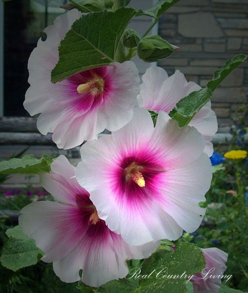 Hollyhocks: