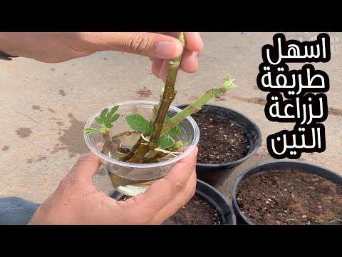 أسهل طريقة لزراعة التين في اي وقت في العام نسبة النجاح مضمونة Youtube In 2021 Home Cooking Plants Oils