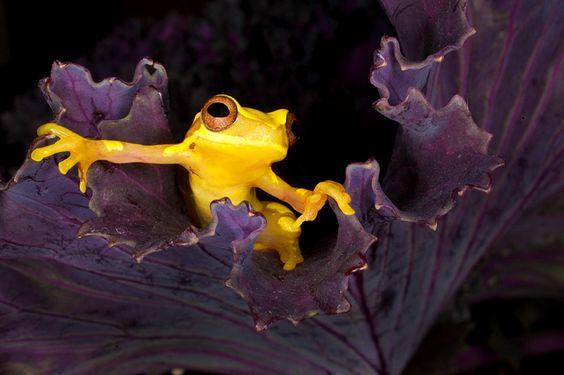 Hour glass frog (Dendropsophus ebraccatus), Costa Rica.  Jim Zuckerman