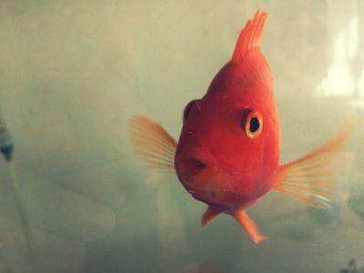 goldfish: