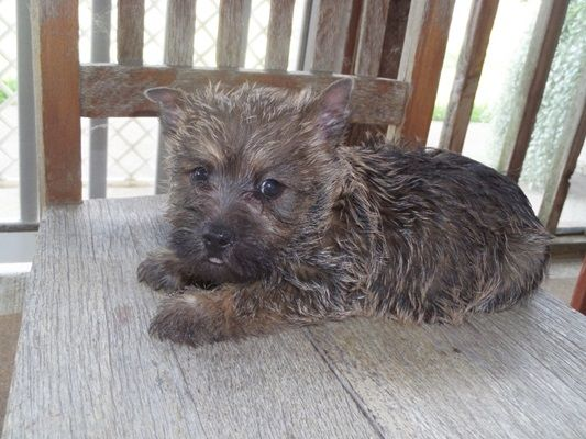 Cairn Terrier Puppy Breeder Cairnoodle Puppies For Sale